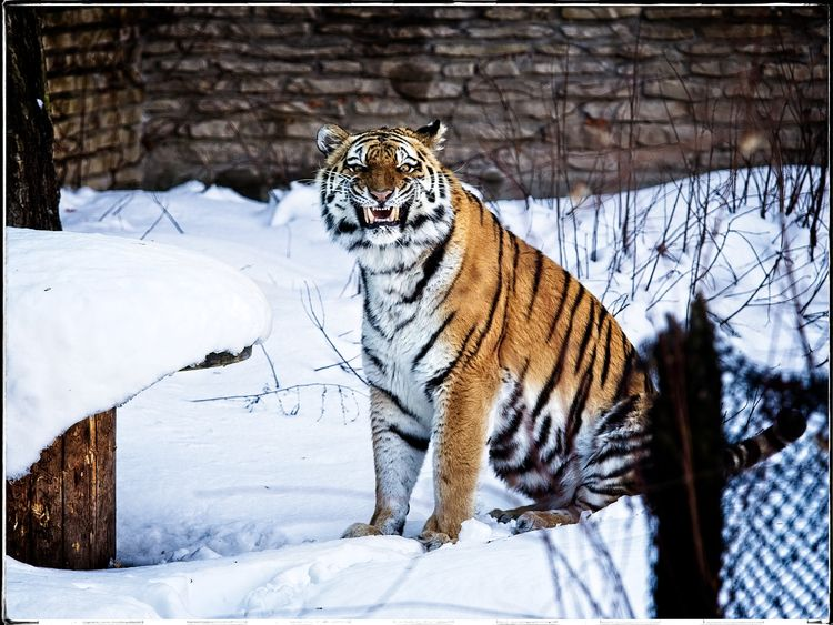 Tiger Season Winter morning Buf - neurodancer   ello