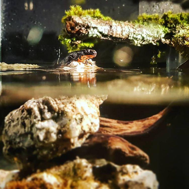 worlds. Cynops orientalis - fran7 | ello