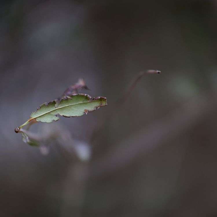 Kontra - photography, leaf, 50mm1dot2SB - marcushammerschmitt | ello