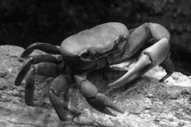 photography, crab, blackandwhite - pixdreaming | ello