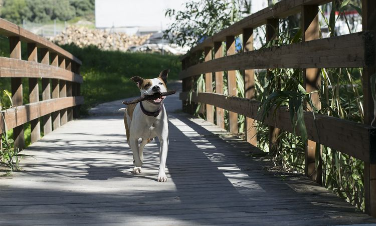 belle - amstaf, amstaff, wonderfuldog - natxodiego | ello