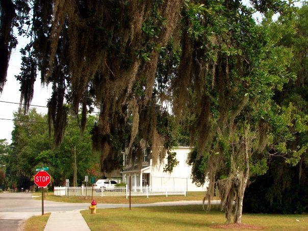 Savannah Moss - trees, savannah - ranjiroo   ello