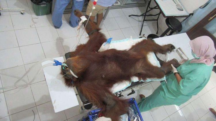Orangután es rescatada ciega co - codigooculto   ello