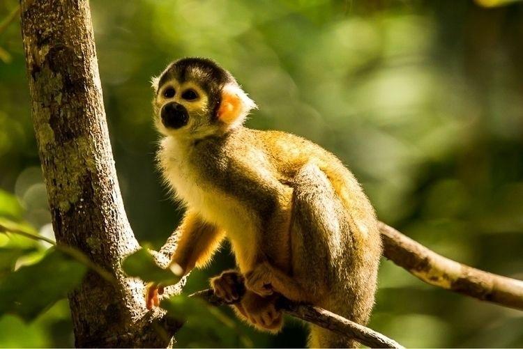 Squirrel Monkey, Reserva Nacion - papa_delta | ello