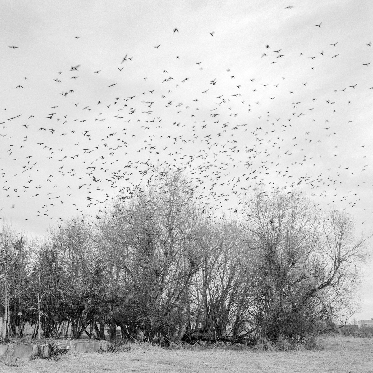Interurban Crows Auburn, Washin - lasrfoto   ello