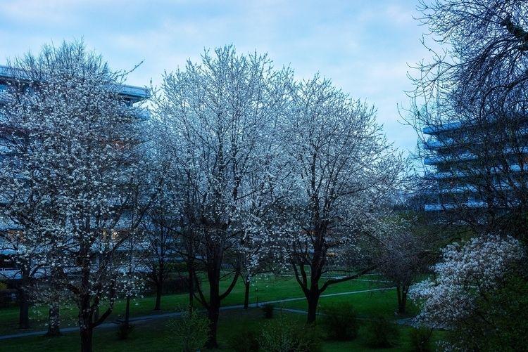 white flowering trees deny appr - christofkessemeier | ello