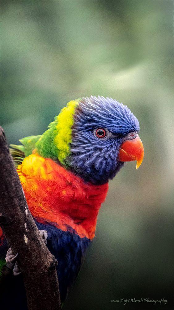 Rainbow lorikeet Blog website:  - anjawessels | ello