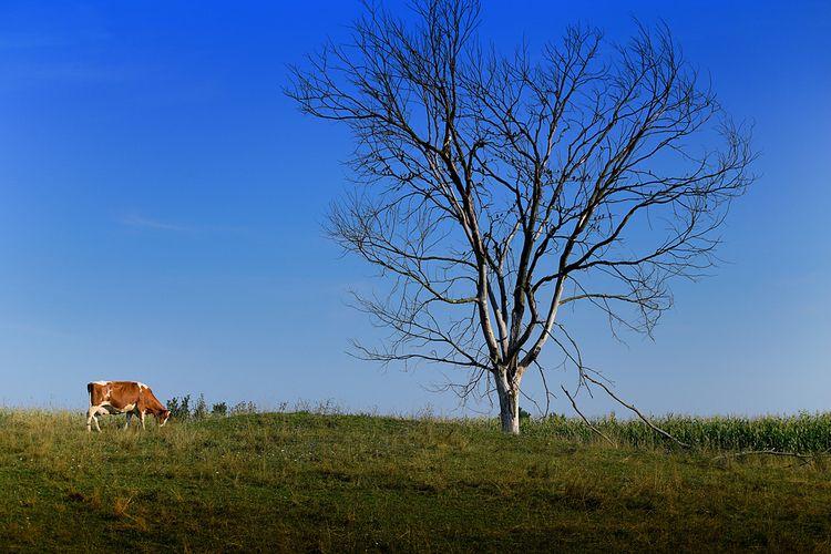Milk - Cow, Farm, Tree, Landscape - darkroomimaging   ello