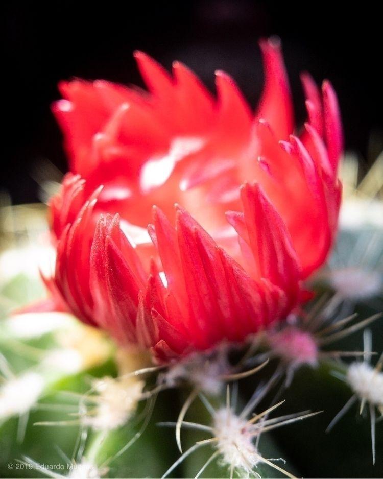 Ballon Cactus Novocactus magnif - photografia | ello