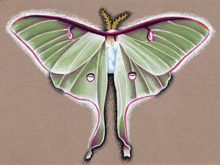 moth, drawing, colorpencil, wings - genpopart   ello