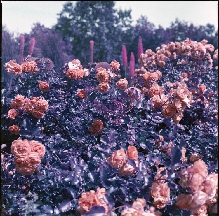 scanned batch lomo purple film  - sir_lady_emrose   ello
