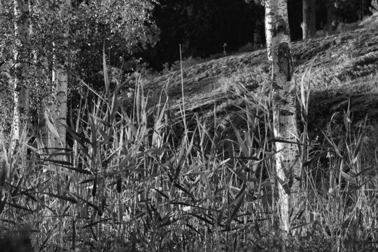 Bark - photography, reed, sweden - marcushammerschmitt | ello