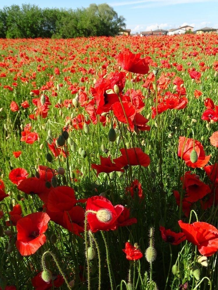Poppy field blazing garden - nature - federicovassallo | ello