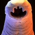 carniverous worm (@carniverous) Avatar