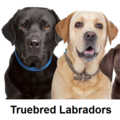 Truebred Labradors (@truebred) Avatar