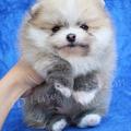 Pomeranian For Sale ThaiLand (@natchapomeranian) Avatar