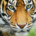 Tiger jarvis (@tiger0077) Avatar