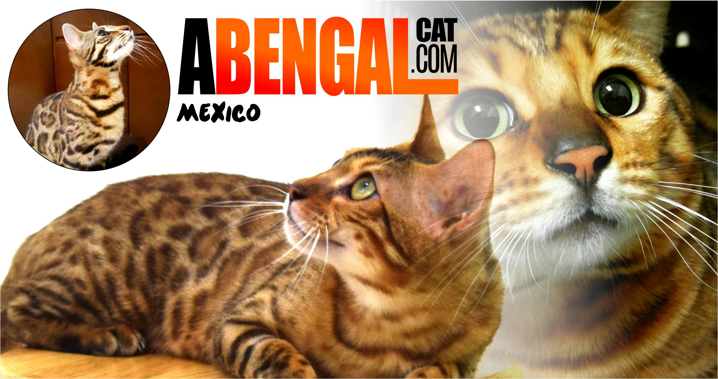 abengalcat.com Criadero Certificado (@abengalcat) Cover Image