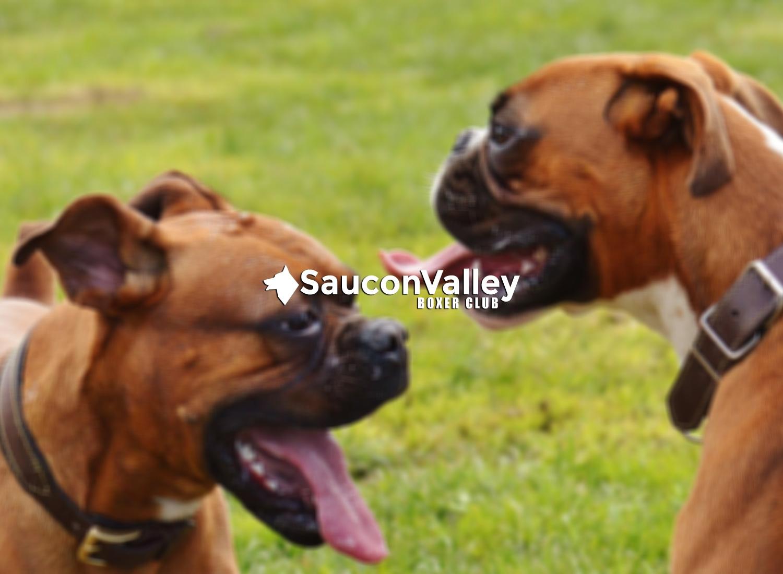 Saucon Valley Boxer Club (@sauconvalleyboxerclub) Cover Image