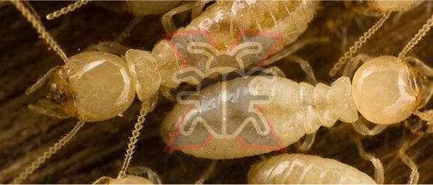 Inner West Exterminator (@innerwestexterminators) Cover Image