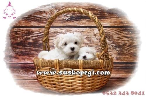 Süs Köpeği (@suskopegi) Cover Image