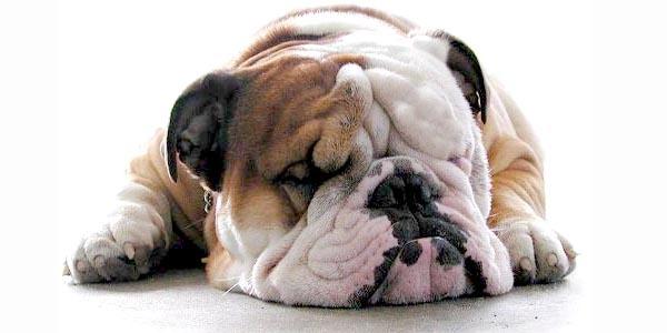 Bulldog Champion (@bulldogchampion) Cover Image