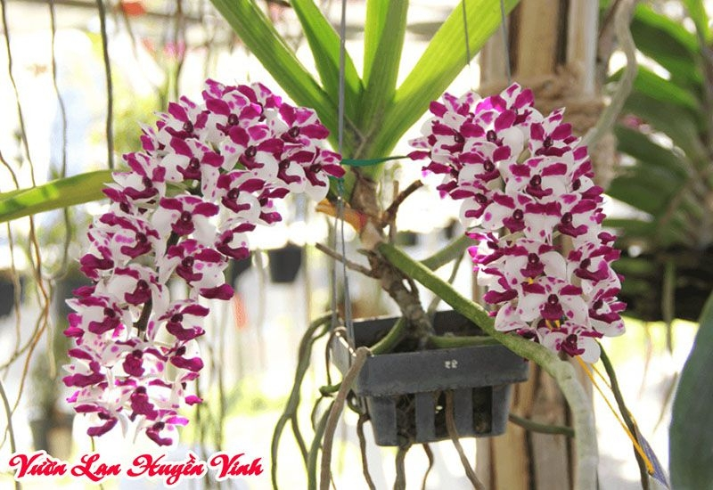 Vườn lan Huyền Vinh (@vuonlanhuyenvinh) Cover Image