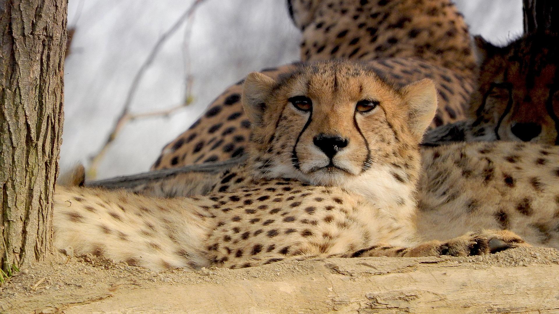 Cheetah (@qomplainerz) Cover Image